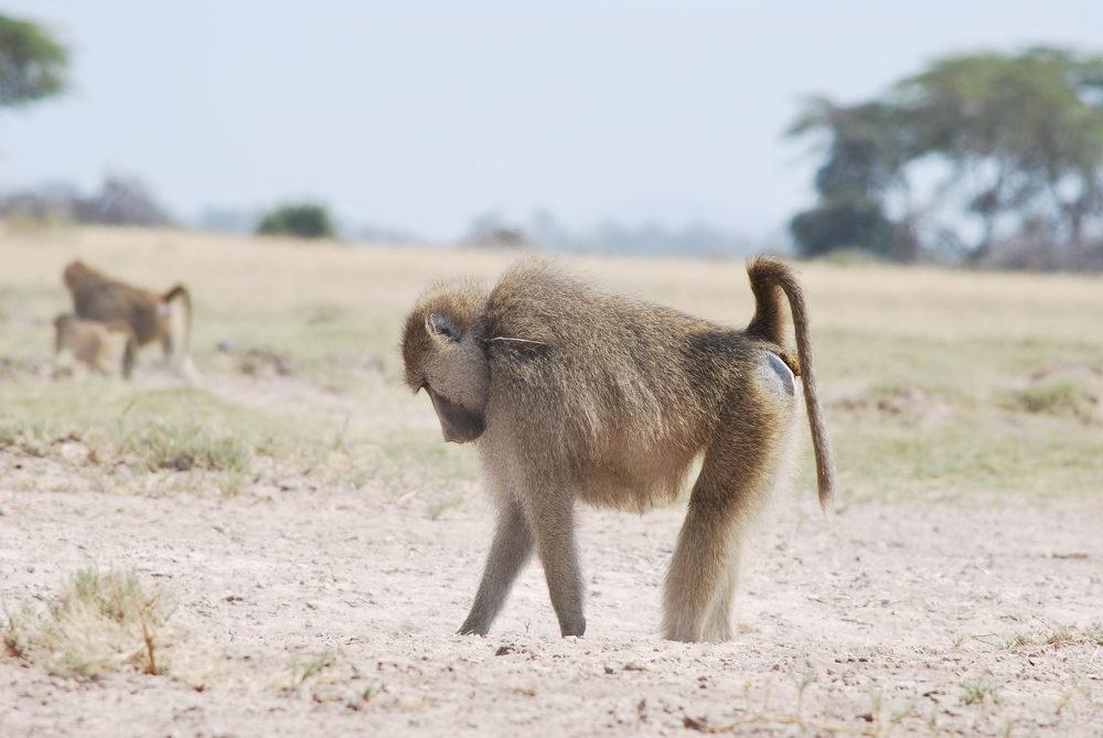 Baboon (Papio cynocephalus) in Amboseli, Kenya