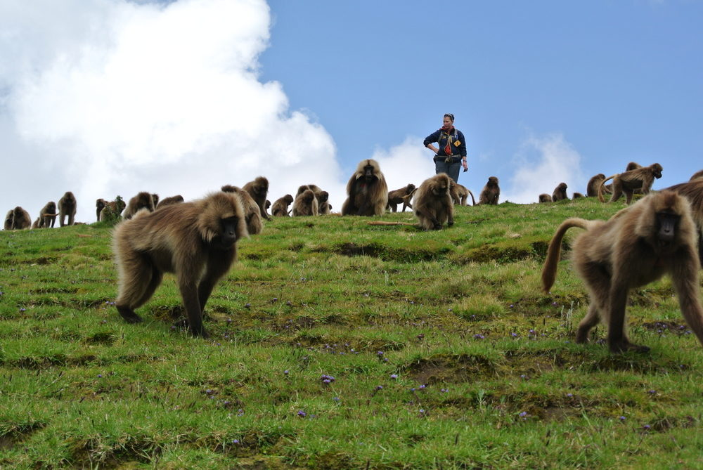 September 2014 (rainy season): Graduate student Elizabeth Tinsley Johnson recording the behaviors and vocalizations of female geladas as the band forages during the day. Photo by J. C. Beehner.
