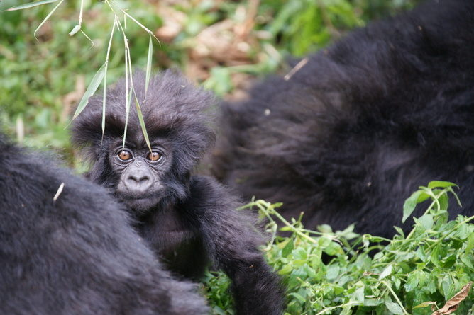 A baby mountain gorilla born today has never known a pristine environment free of threat from people.Bradford DupliseaCC BY-NC-ND