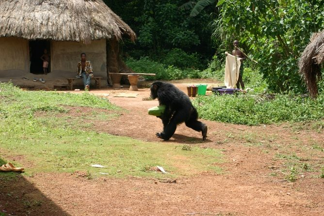 Chimpanzees are wily enough to adapt in some ways when people encroach on their turf. Kimberley Hockings, CC BY-NC-ND