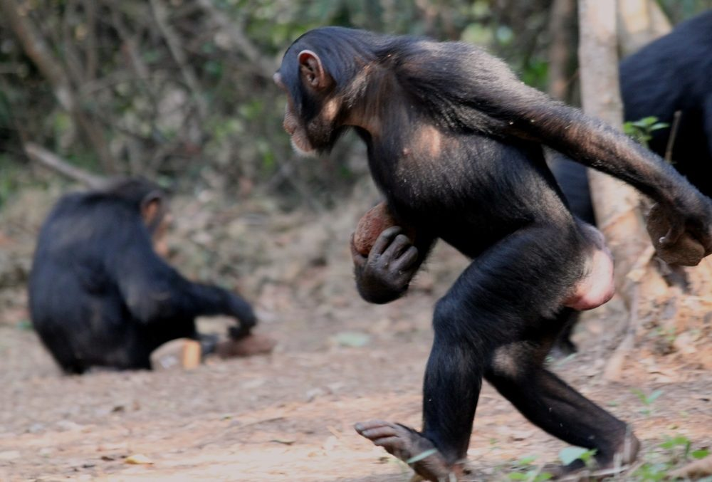 Chimpanzee in Bossou demonstrates how to carry nuts and stone tools with just two feet on the ground. Jules DoreCC BY-NC-ND