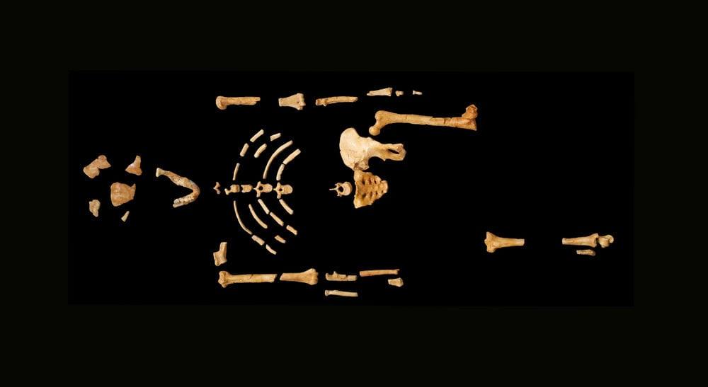 LucyAustralopithecus afarensis AL 288-1. Image via Wikimedia Commons.