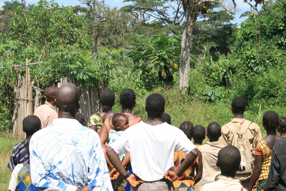 Villagers in Bossou watch chimps carrying out a papaya raid mission.                                      Susan Carvalho CC BY-NC-ND