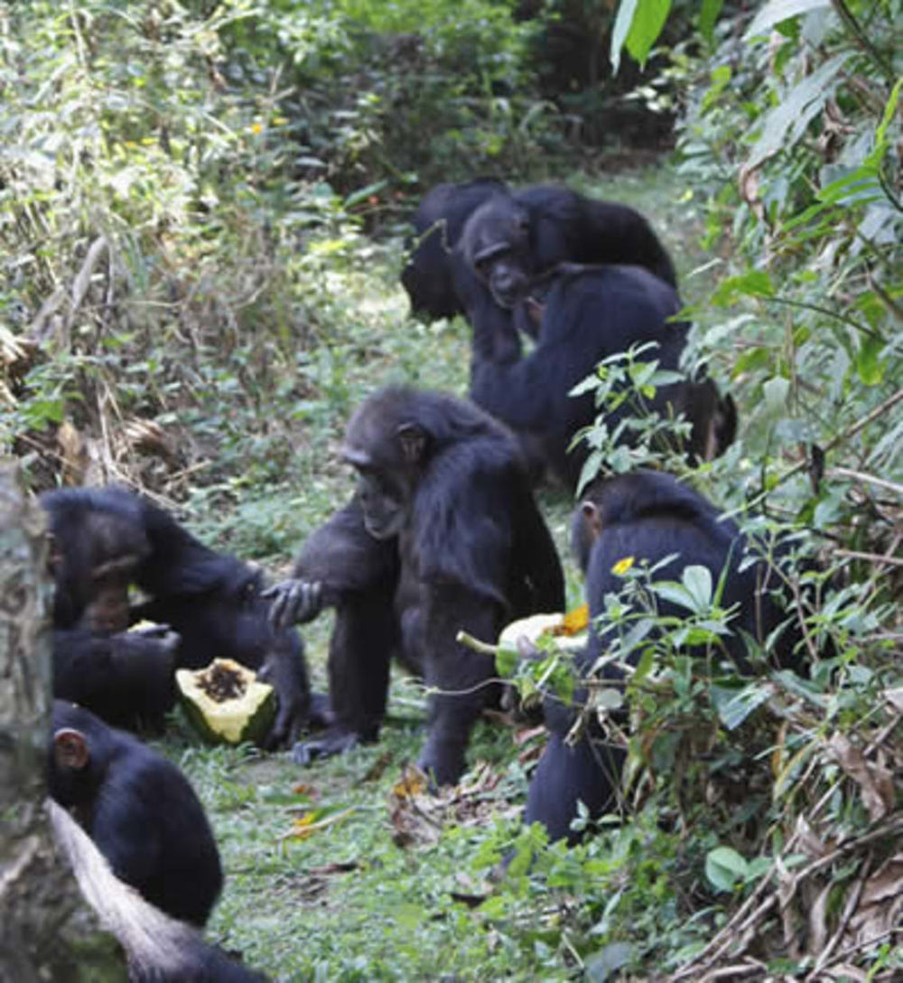 Eating and sharing papaya after crop raiding. Susana Carvalho CC BY-NC-ND