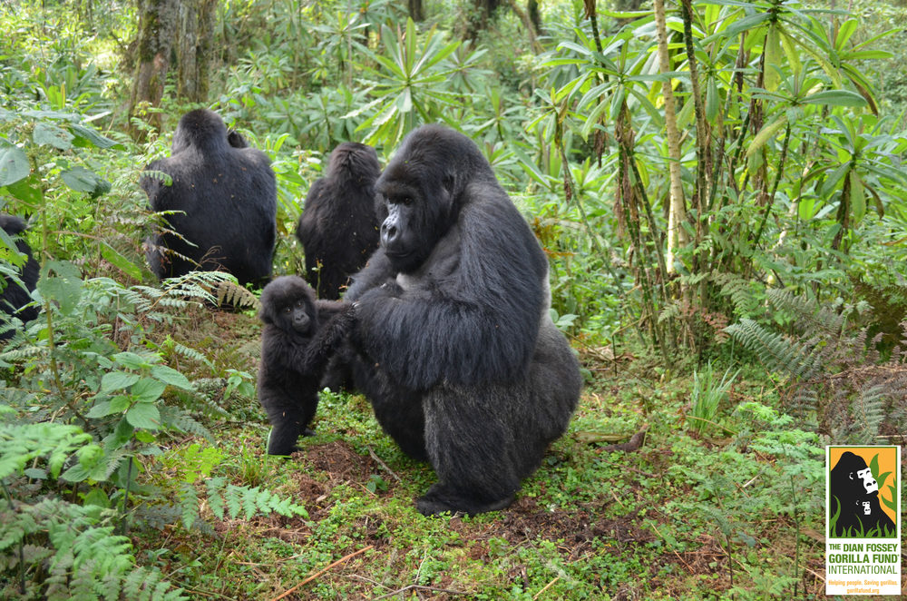 Copyright:  Dian Fossey Gorilla Fund International