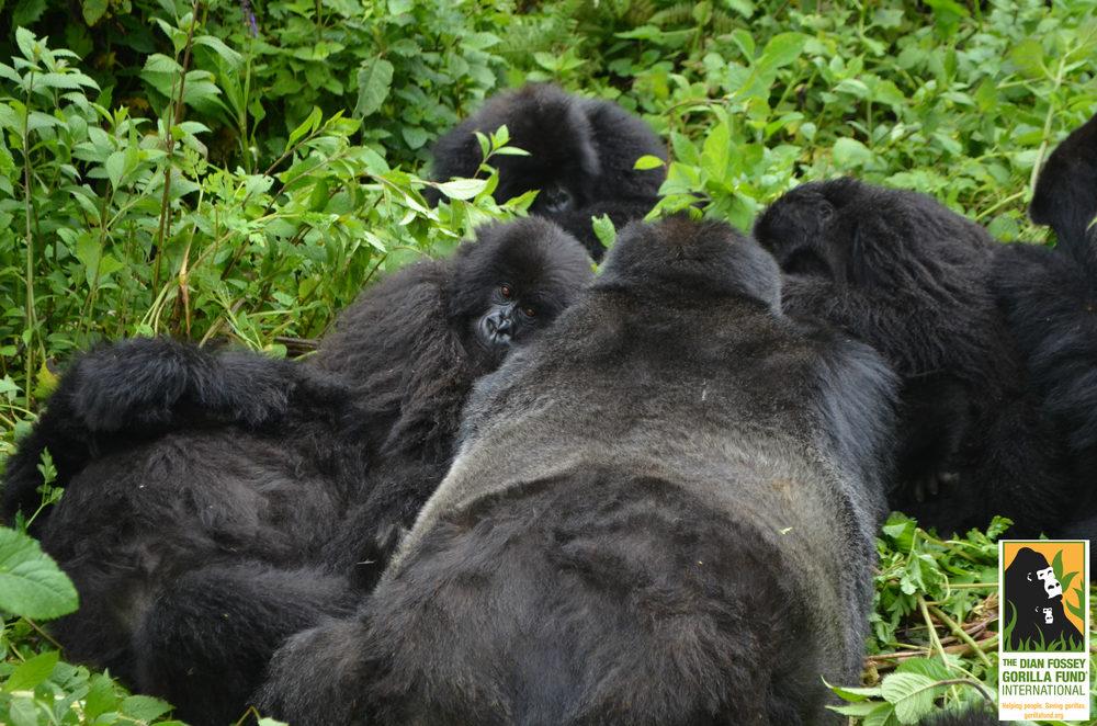 Copyright:Dian Fossey Gorilla Fund International