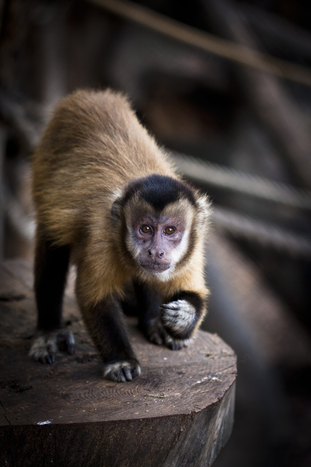 """Quincy, an adult female capuchin monkey (Sapajus spp.). Quincy is one of the 24 capuchins hosted in four groups at the Unit of Cognitive Primatology of the Istituto di Scienze e Tecnologie della Cognizione, CNR, in Rome, Italy,where the project """"Emotional basis of primate reciprocity"""" is being carried out. Photo credit: Sabrina Rossi"""