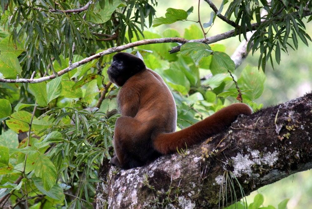 A woolly monkey namedChromeo