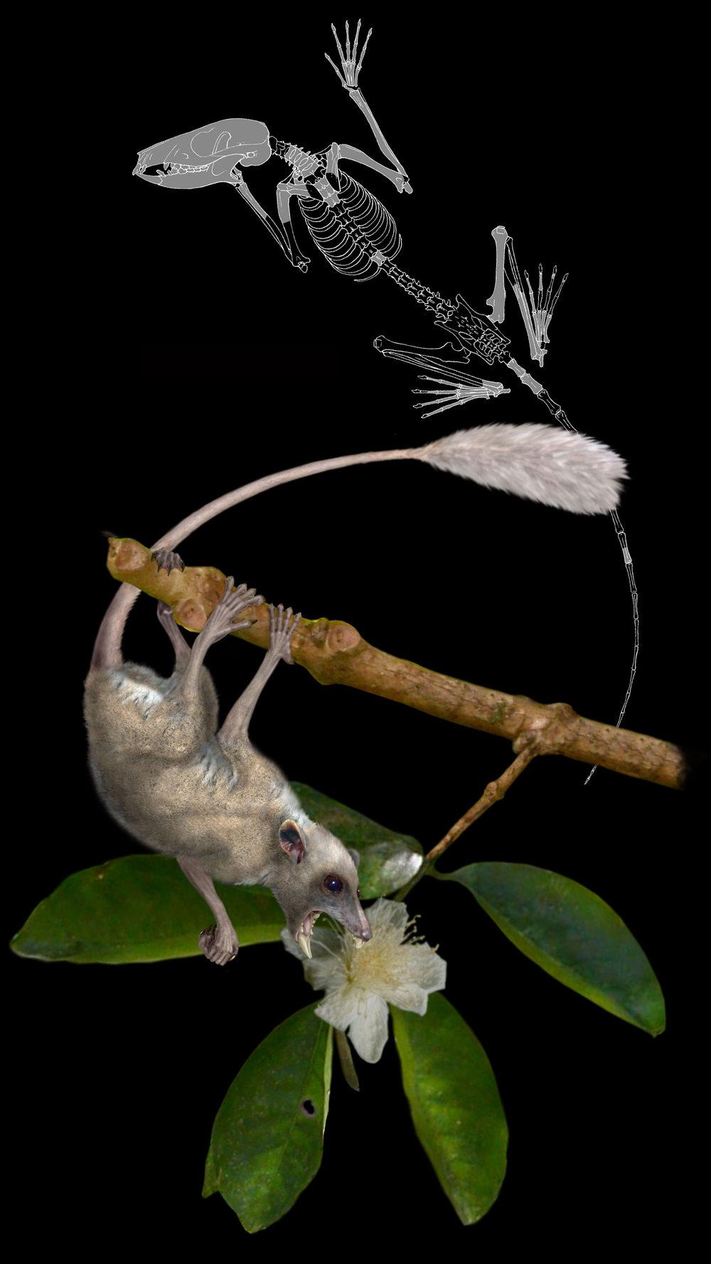 A reconstruction of the micromomyid plesiadapiformDryomomys szalayiby Doug Boyer
