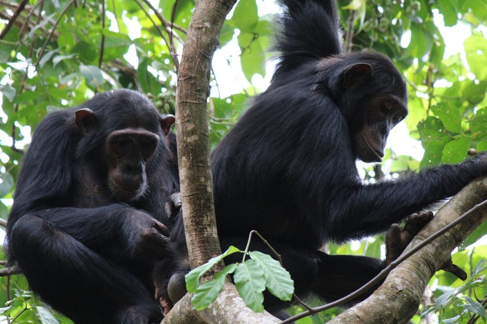 Immigrant female chimpanzeesChema and Rumumba, engaging in some quality, though rare, bonding time. Photo courtesy of gombechimpanzees.org.