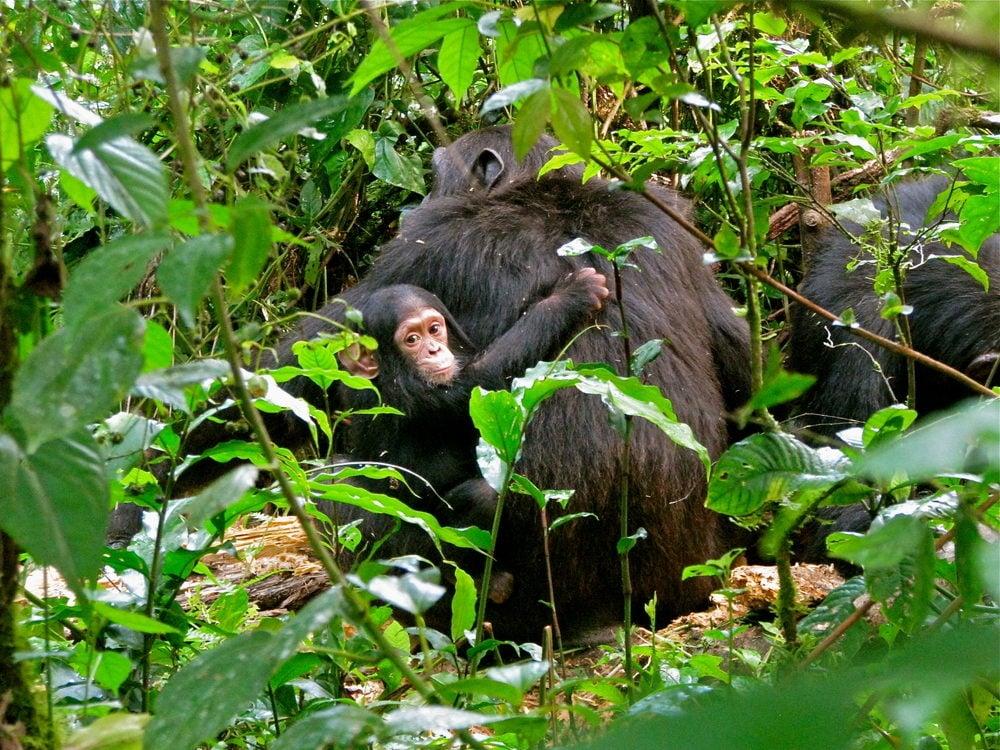 chimpanzees and baby chimpanzees