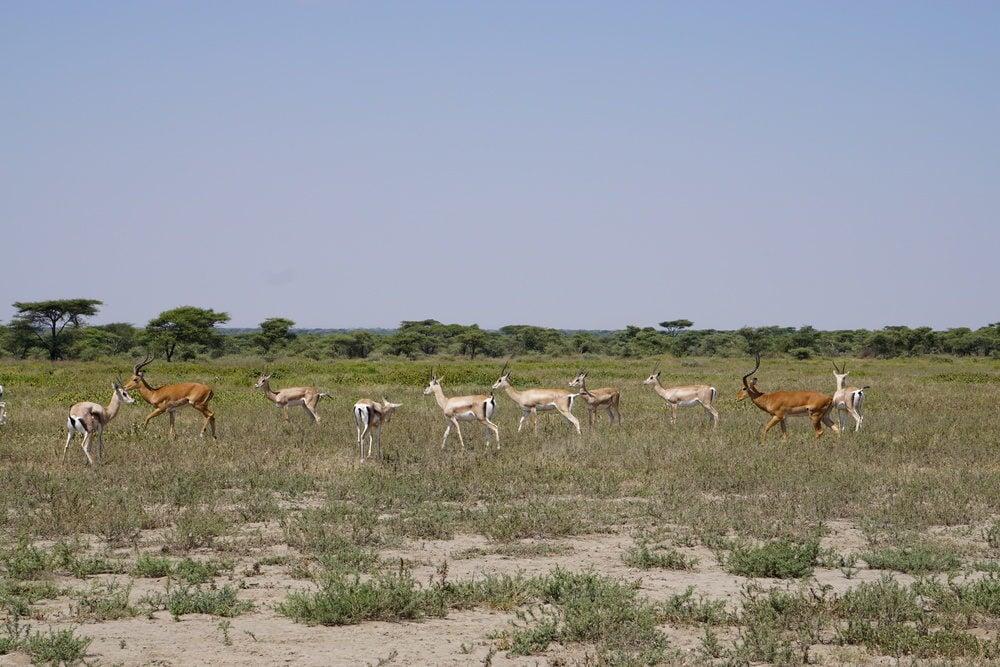 Modern impala and Grant's gazelles hanging out together near Lake Masek