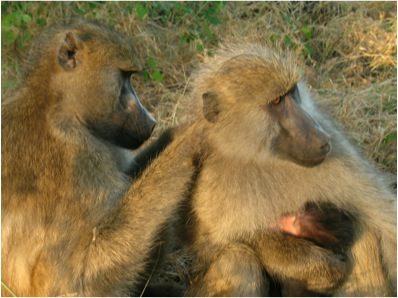 baboon metaphysics cheney dorothy l seyfarth robert m