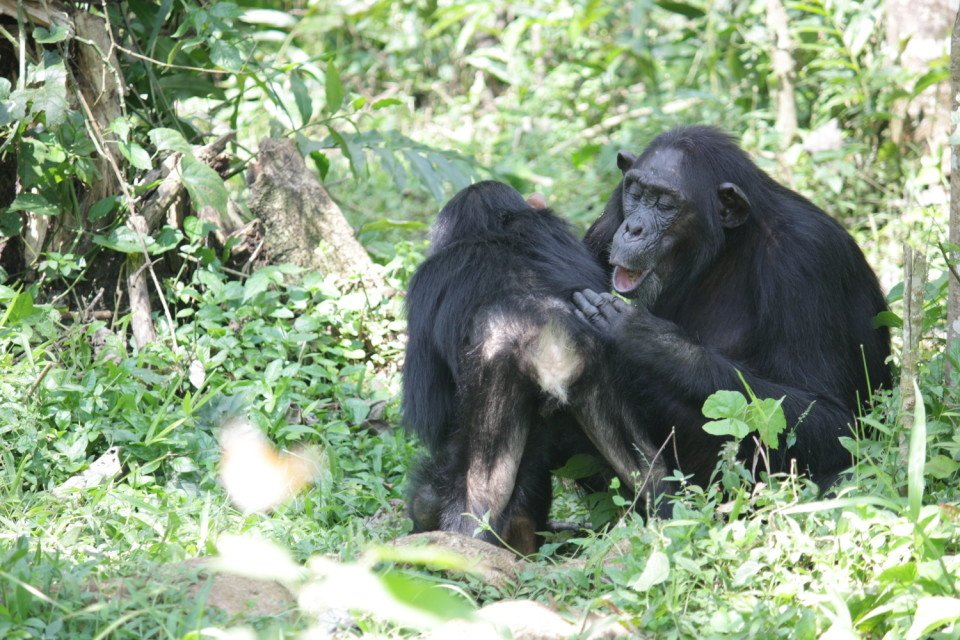 Juvenile Klauce gets groomed by his mother Kalema.