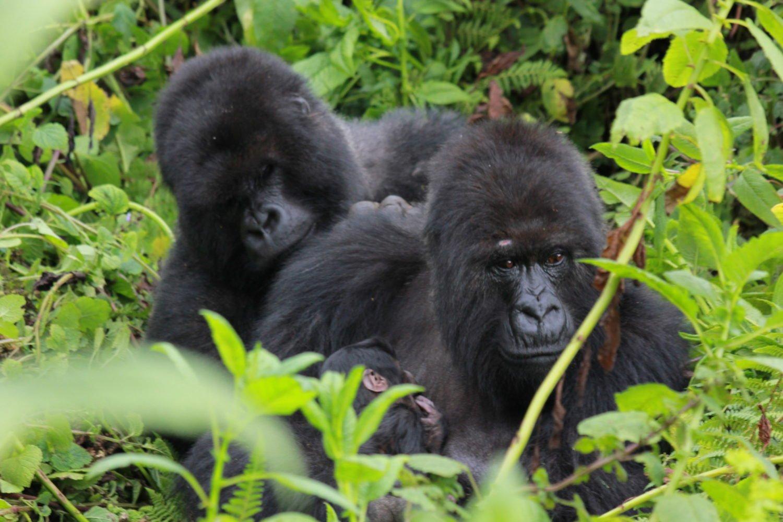 Copyright Dian Fossey Gorilla Fund International