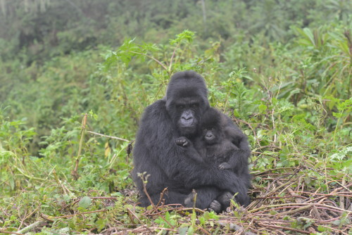 Copyright Dian Fossey Gorilla Fund International