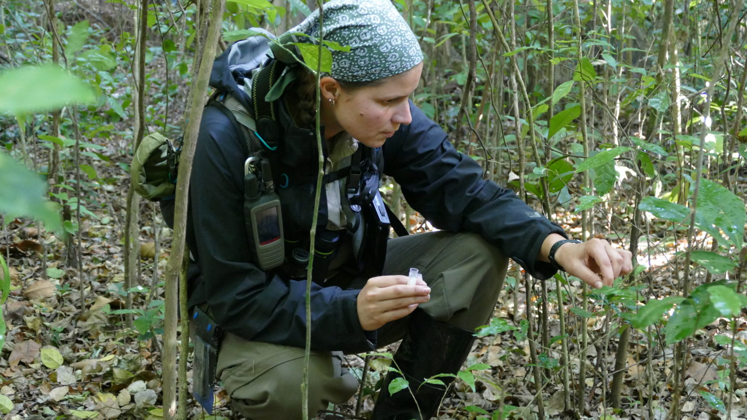 Corinne Ackermann collecting a urine sample from leaves