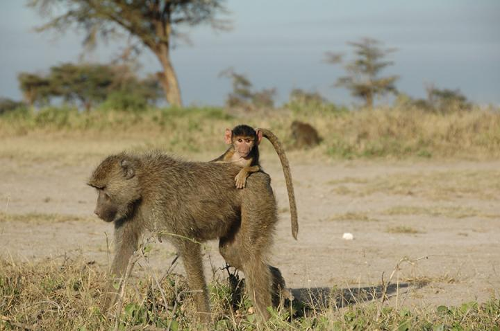 A four-month old infant baboon rides on its mother's back near Amboseli National Park in Kenya. Early adversity, such as losing a mother before age four, reduces adult life expectancy in wild baboons by up to ten years, researchers find.