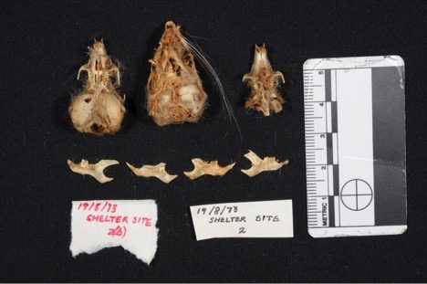 Figure 5. Three gerbil crania and four hemi-mandibles from an owl pellet collected in 1973 at the Mirabib rock shelter in Namibia. Notice that the central cranium still retaines much of its soft tissue, including the left vibrisae.