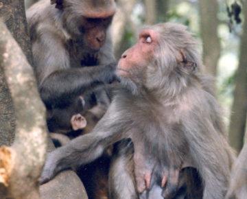 Rhesus macaque grooming on Cayo Santiago. Photo credit: Dr. Carol Berman