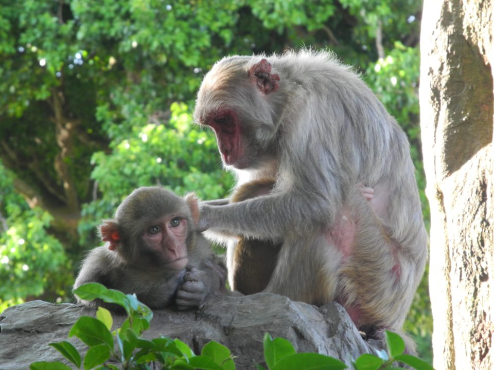 Rhesus macaque grooming on Cayo Santiago