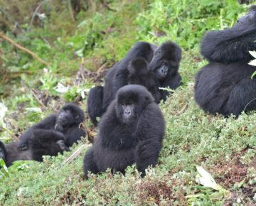 Virunga mountain gorillas. Photo credit: Jordi Galbany