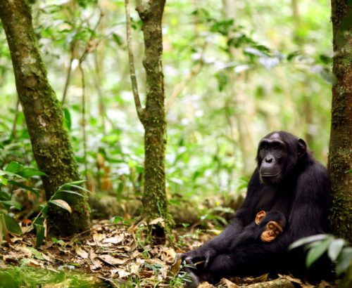 A mother and baby chimpanzee. Photo by Kevin Langergraber.