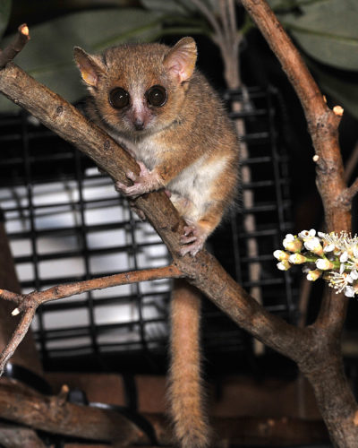 The extinct Gujarat primates appear to be most similar to the gray mouse lemur, Microcebus murinus, pictured here. Photo: David Haring, Duke Lemur Center