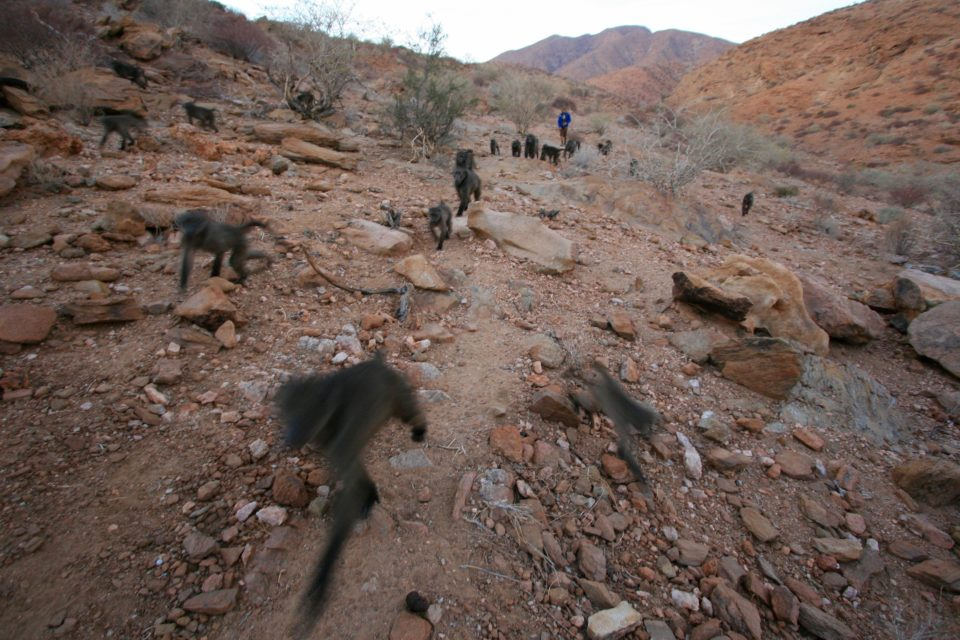 Fig 3: : My volunteer Dylan Gomes collected much of the social network data for the project this year. Here, he is following L troop as they leave their sleeping cliff in the morning to head to the ephemeral riverbed to forage.