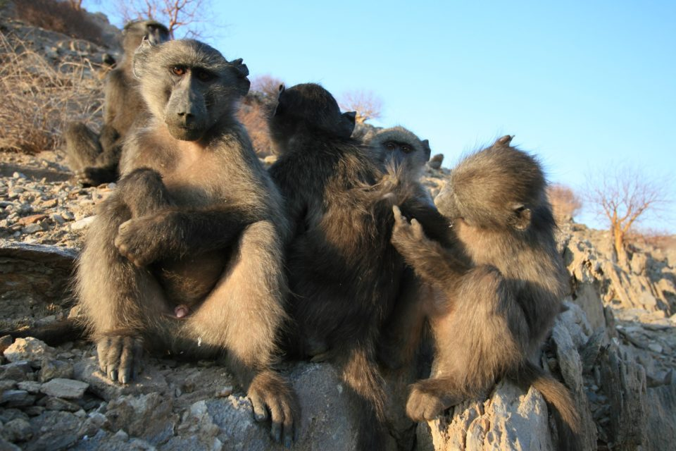 Fig 5: A group of baboons.