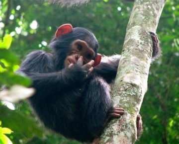 The Leakey Foundation | Feeding Transitions in Wild Infant