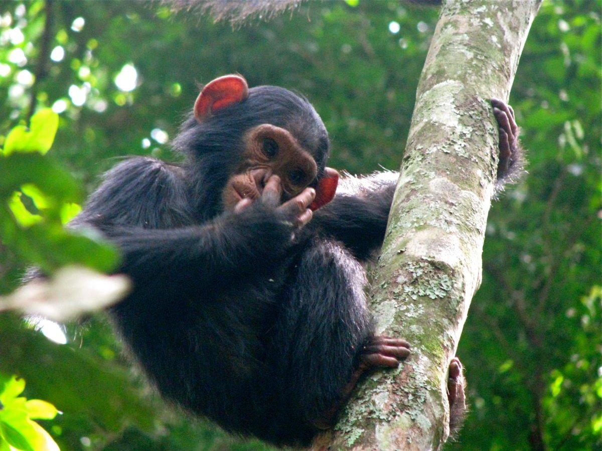 baby_chimpanzee_nose
