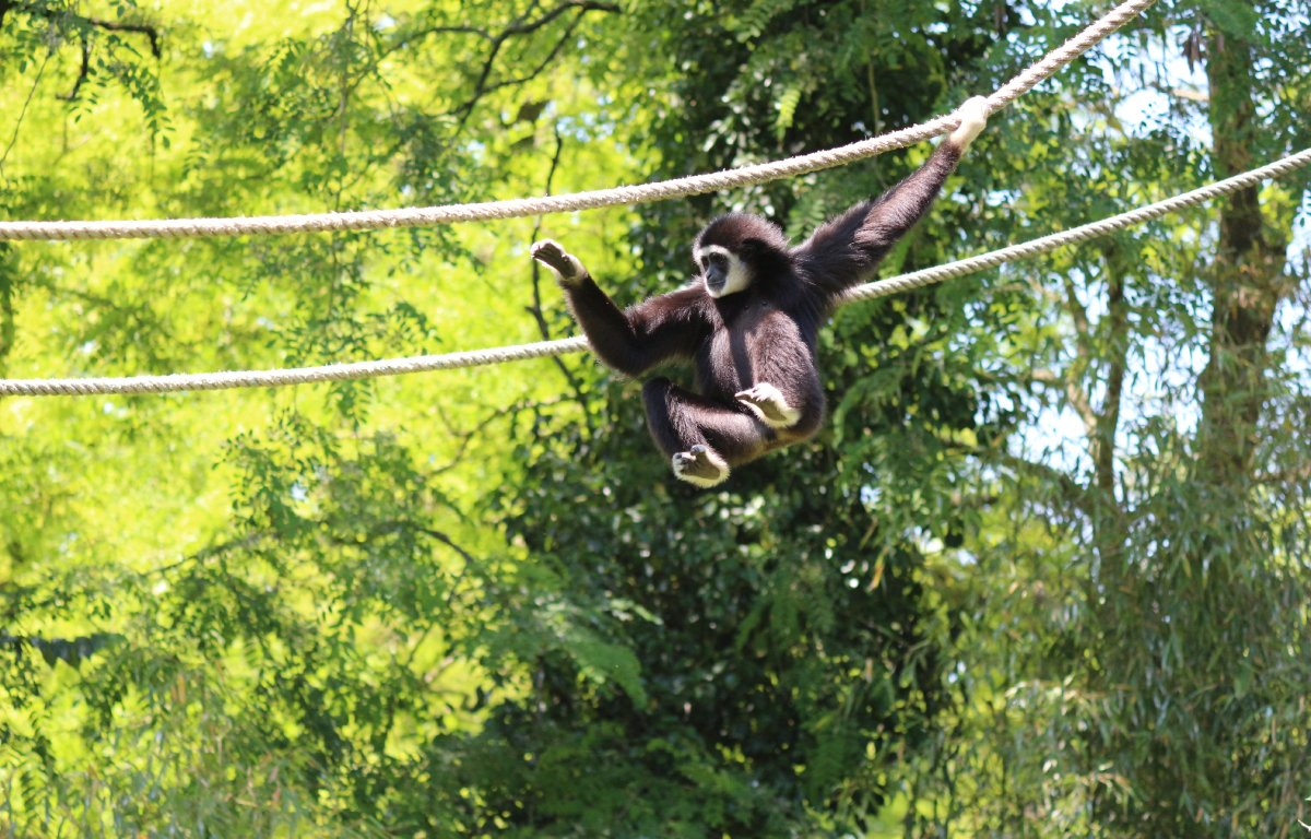 The Leakey Foundation | Five Fun Facts About Gibbons
