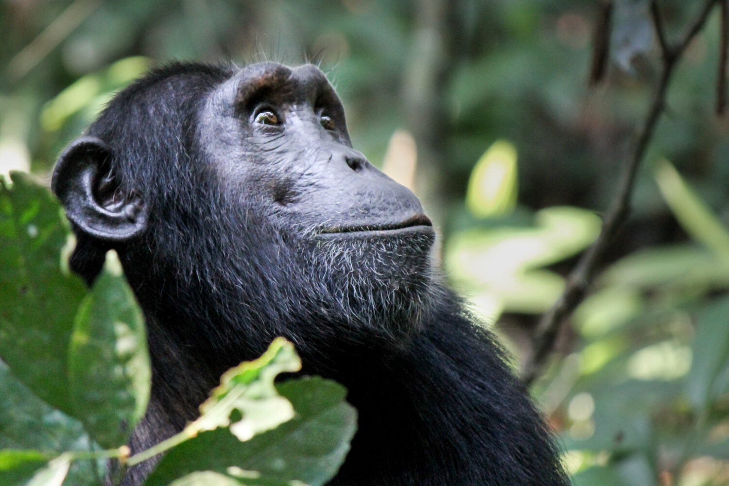 A wild chimpanzee is photographed in profile. It loos up and to the left, green leaves frame its face.