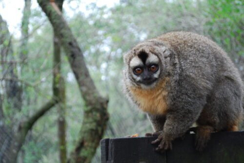 Owl monkey sitting on a wood sign