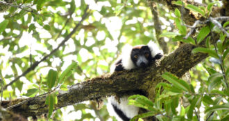 a ruffed lemur looks down from a tree