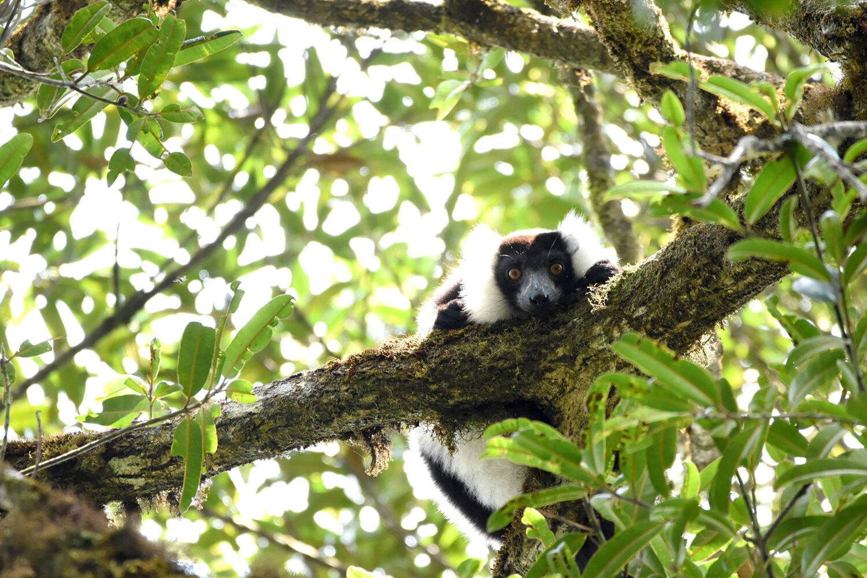 a ruffed lemur looks down from a tree